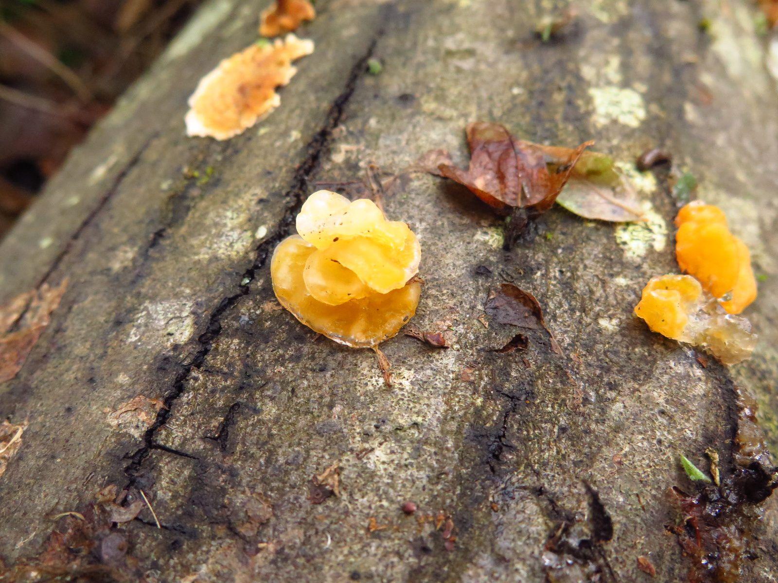 Trémelles mésentériques (Tremella mesenterica)