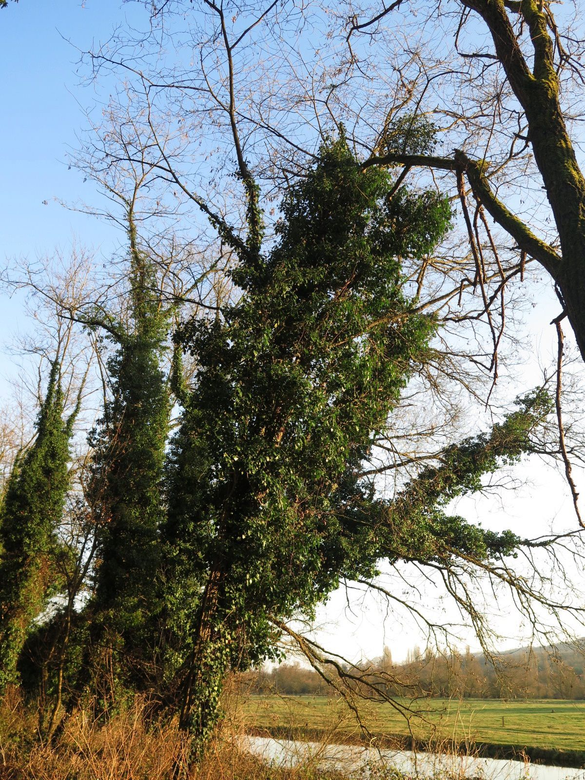 Des arbres verts, même en hiver