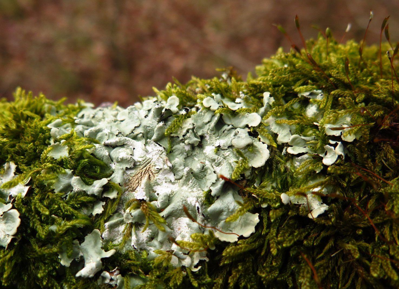 Lichens des friches calcaires -2