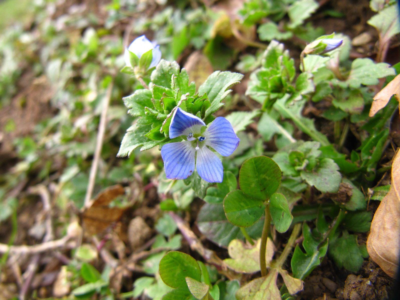 Petites fleurs sauvages, début du printemps