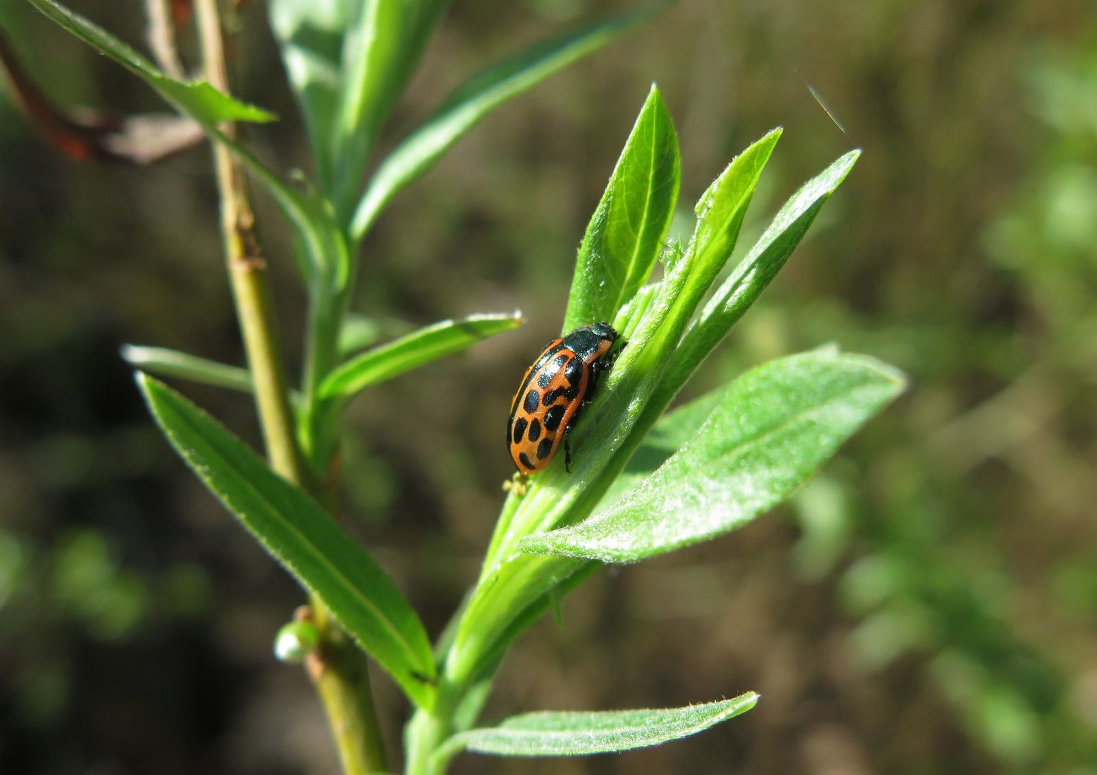 Chrysomèle à vingt points  (  (Chrysomela vingitipunctata )