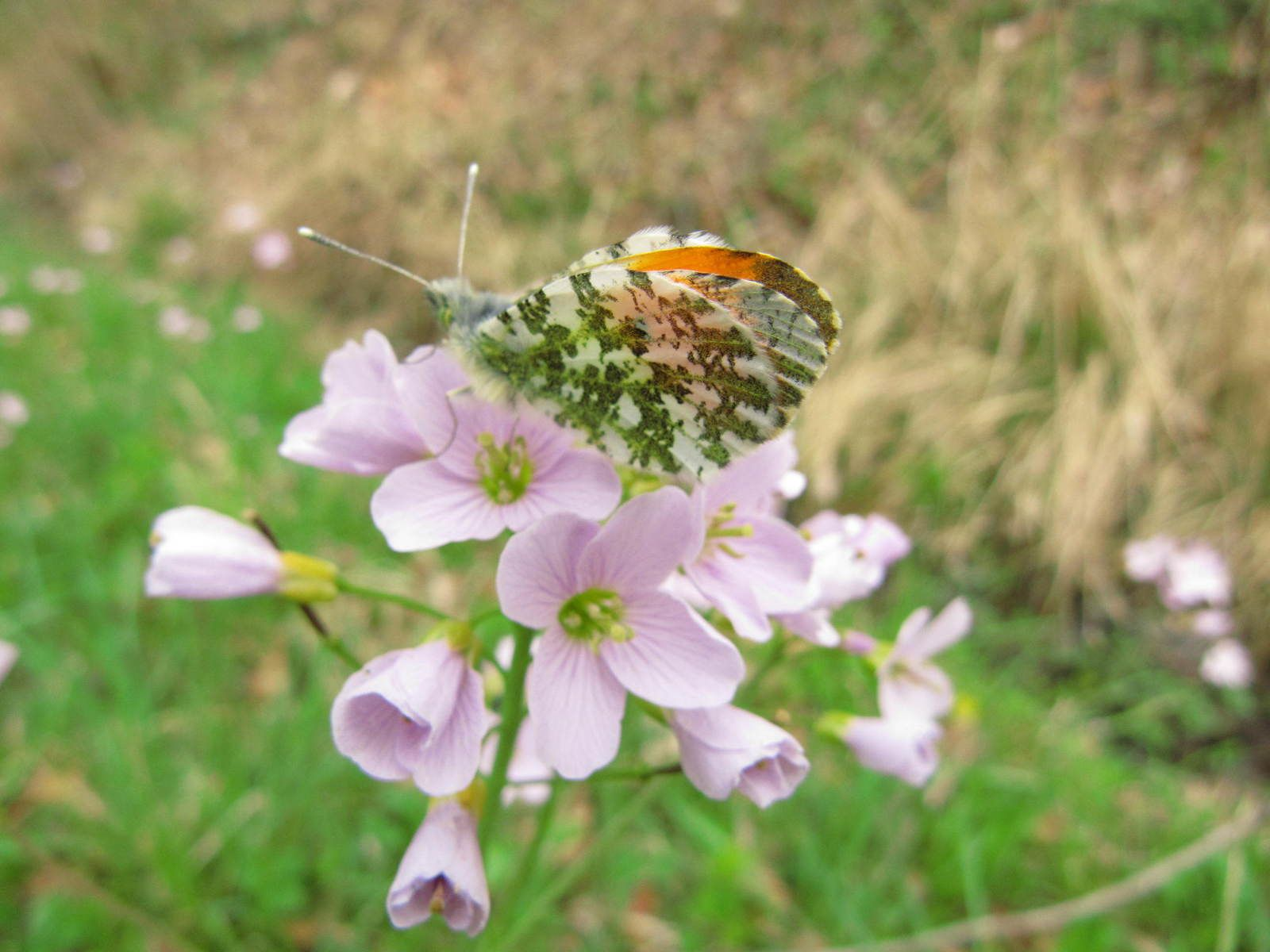 Aurore, (Anthocharis cardamines)
