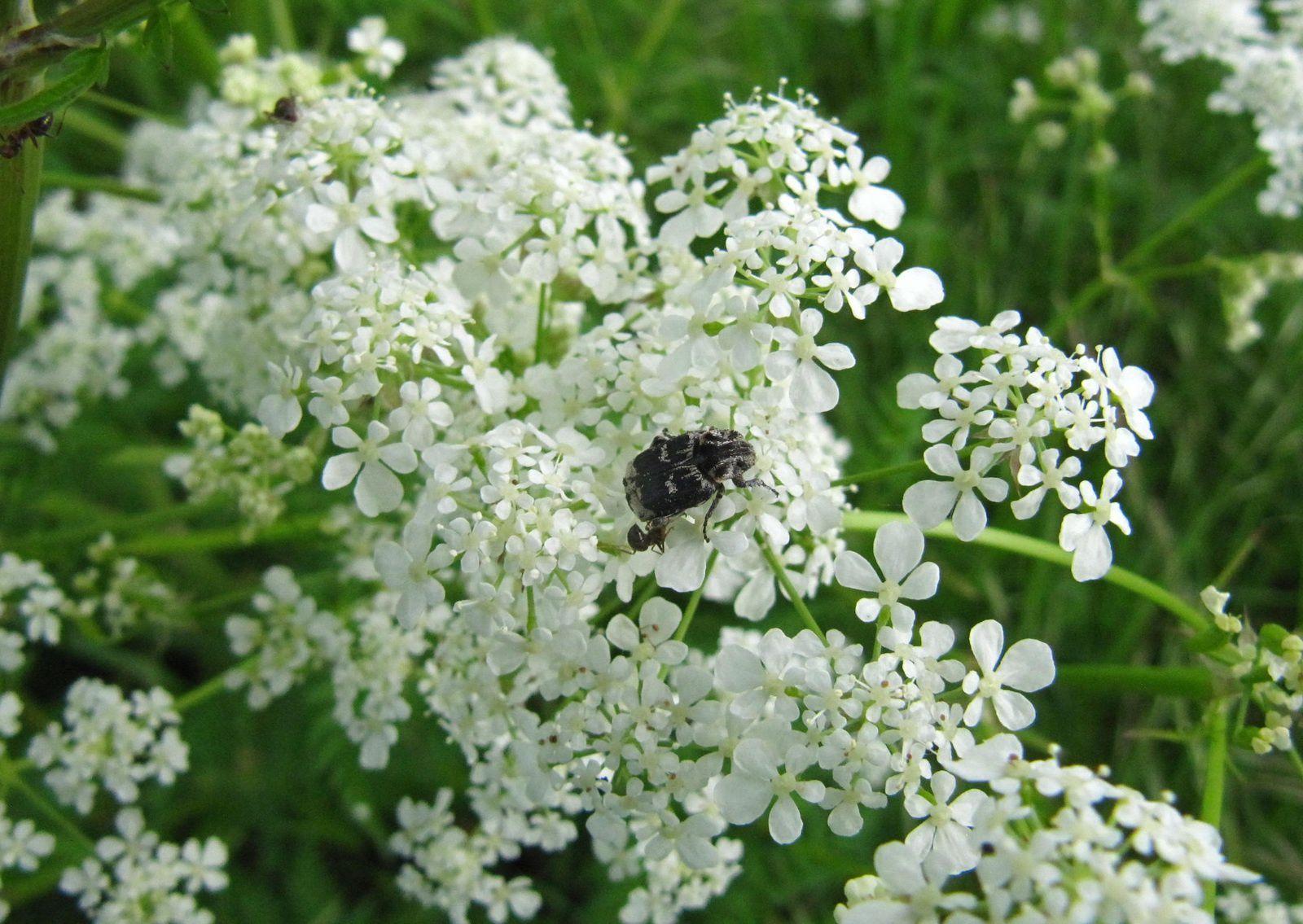Quelques petits coléoptères du mois de mai