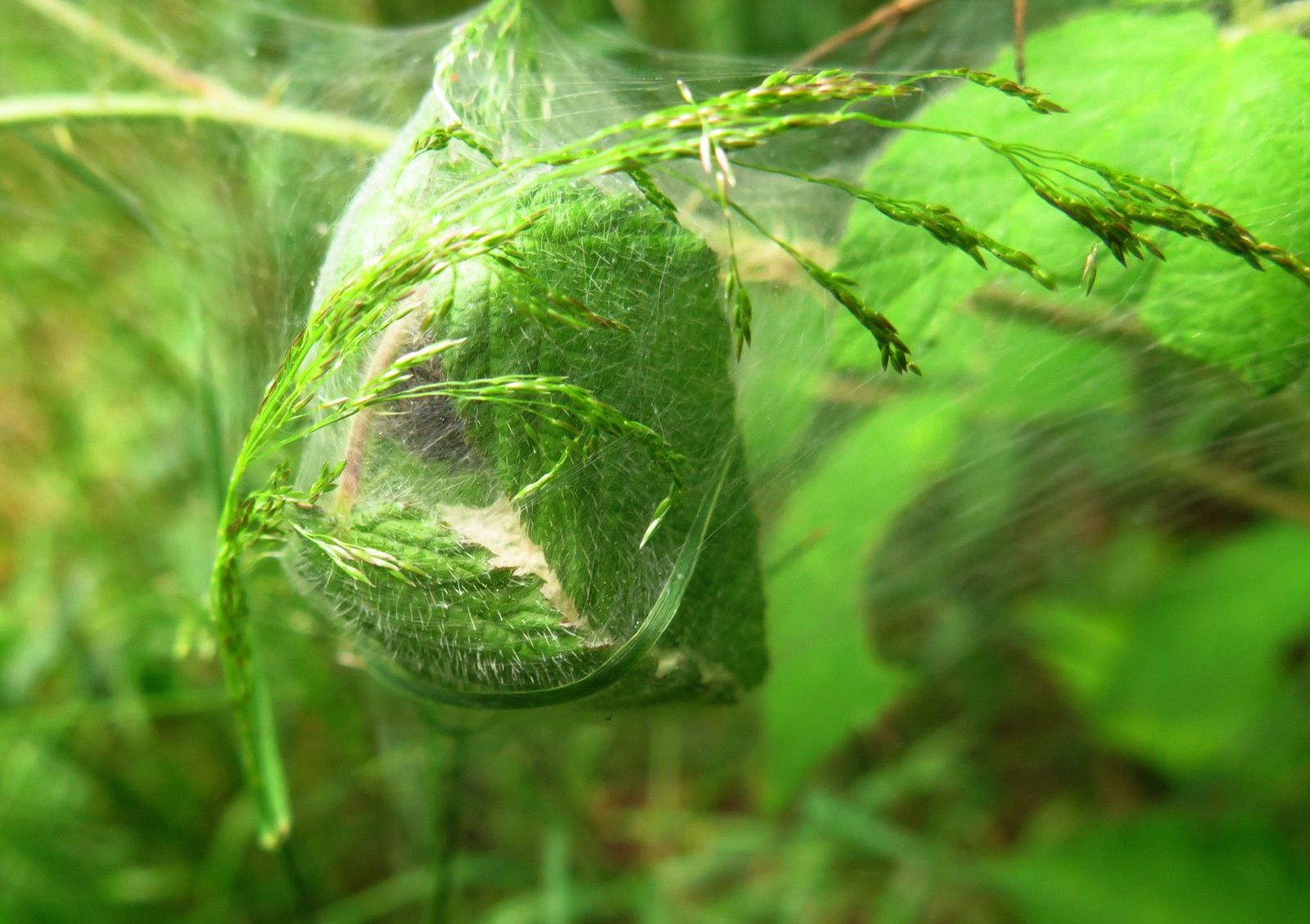 Pisaure admirable ( Pisaura mirabilis ) sur son nid.