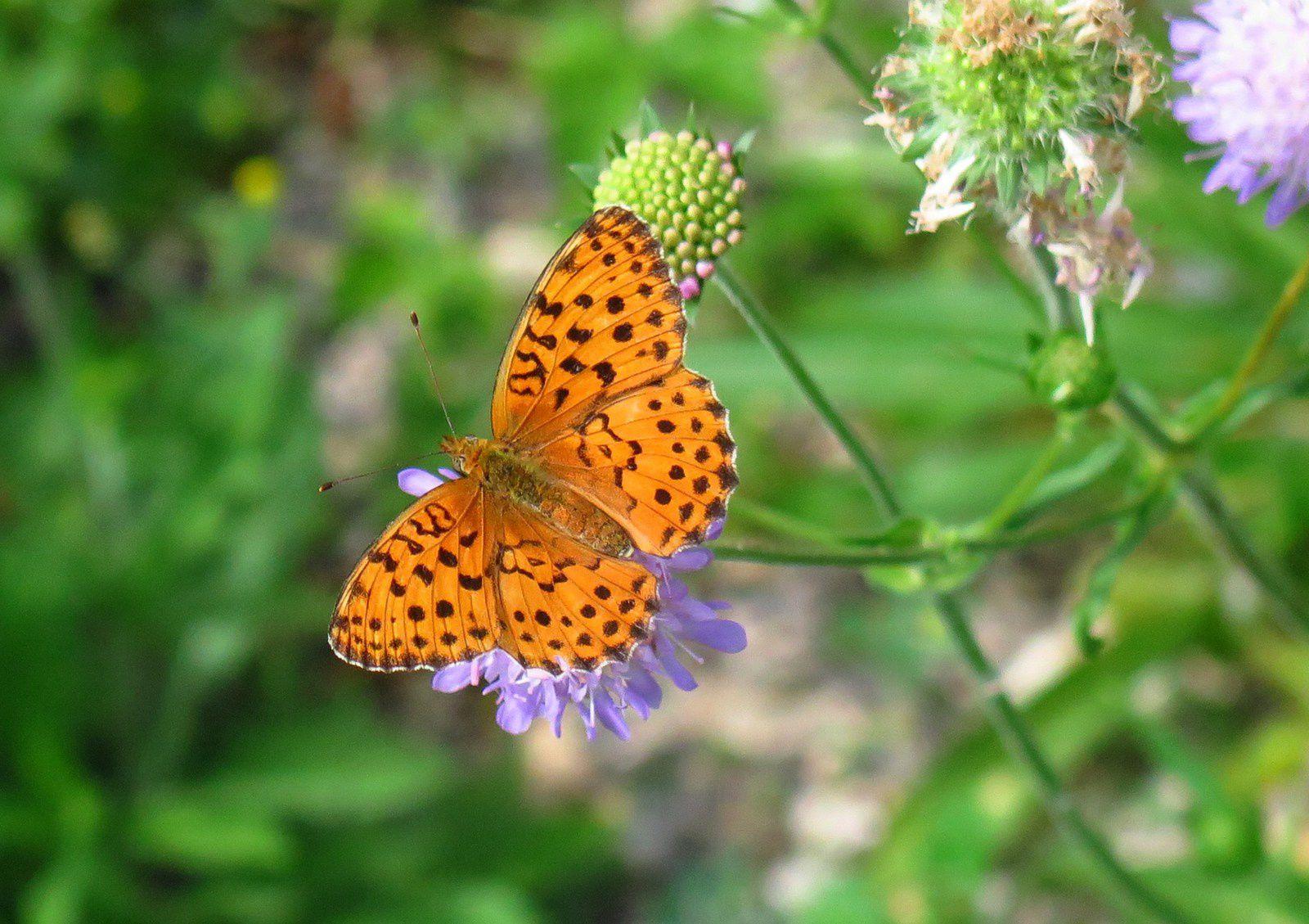 Papillons forêt de Rollainville