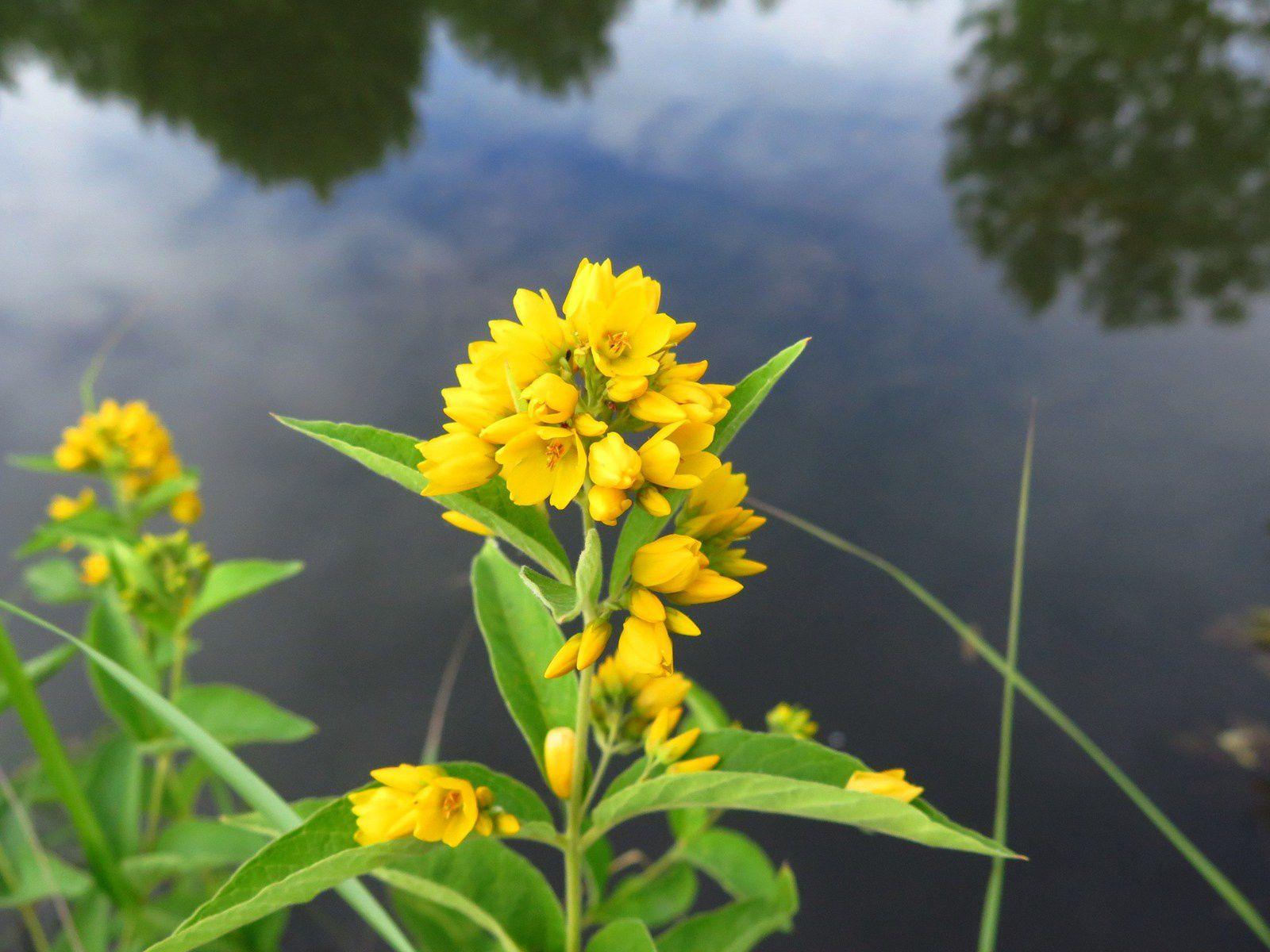 Quelques plantes aquatiques de juillet