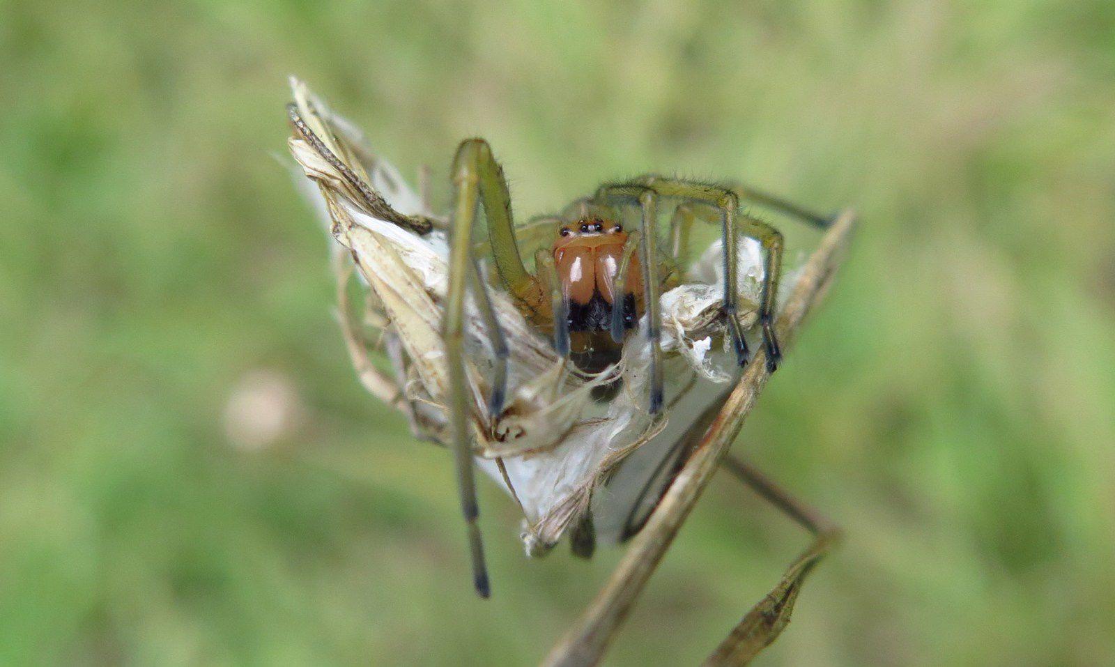 Chiracanthe nourrice (Cheiracanthium punctorium)