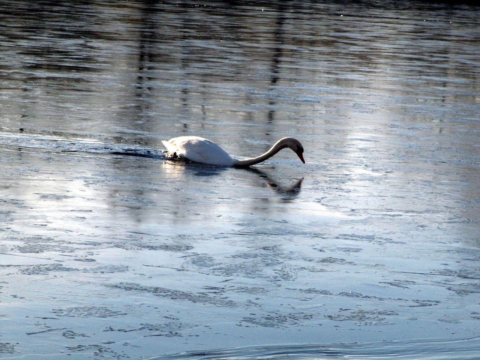 Madame Cygne est quant à elle au milieu de la partie gelée et doit ramer pour s'en dépêtrer !