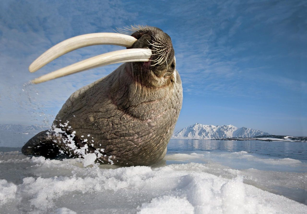 A walrus hits the ice with its tusks near Baffin Island, Canada by Paul Nicklen