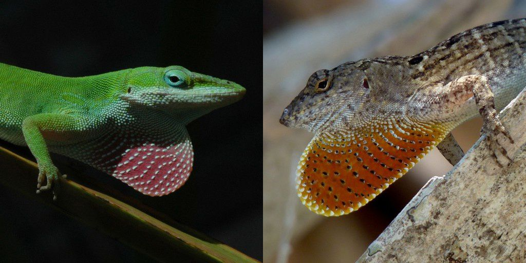 Native green anoles (left) have evolved better gripping feet in response to an invasion of brown anoles (right) on islands in Florida. Credit: Todd Campbell and Adam Algar.