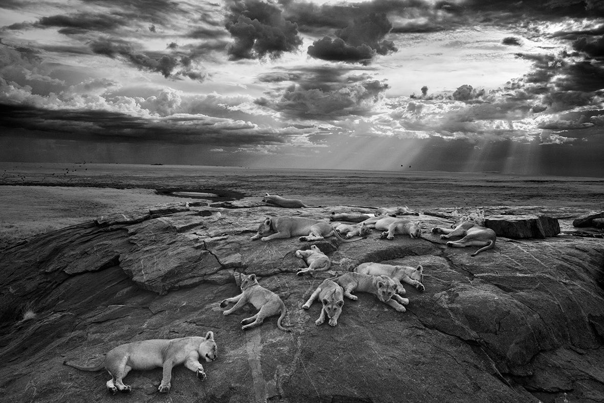 Michael Nichols: Wildlife Photographer of the Year 2014 - Grand title winner