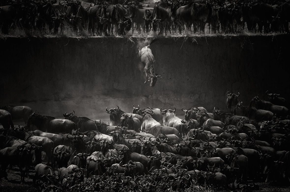 Nicole Cambre - The Great Migration - Jump of the wildebeest at the Mara River (Tanzania)