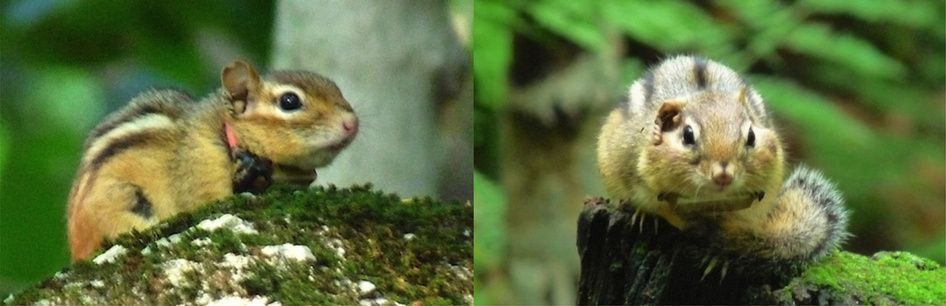 A collar-mounted spy microphone for recording individual sound emissions in free-ranging chipmunks. Two individual chipmunks equipped with the device for a recording of 24h in natural conditions. Photos by C. Couchoux.