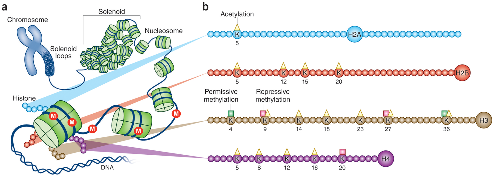 Chromatin structure and histone modifications at N-terminal histone tails.