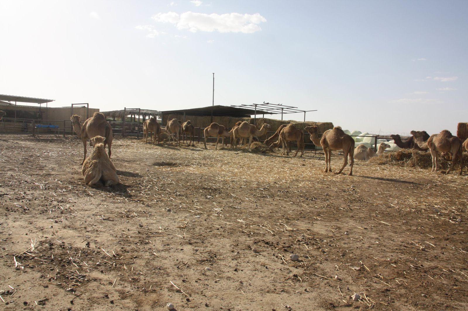 Balade à dos de dromadaire et nuit chez les bédouins