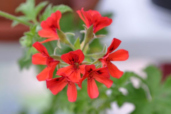 Pelargonium odorants