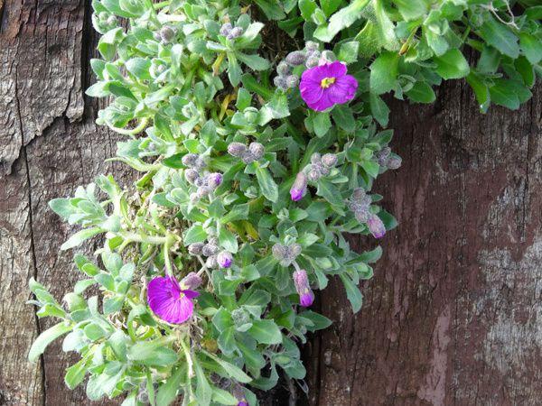 Premières fleurs au jardin
