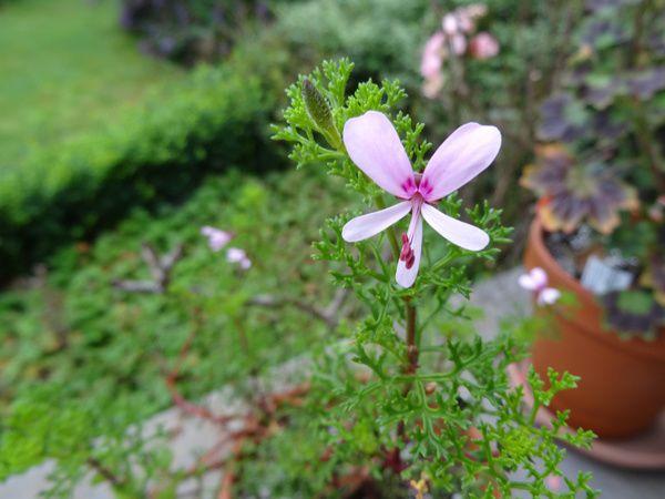 Pelargonium fruticosum