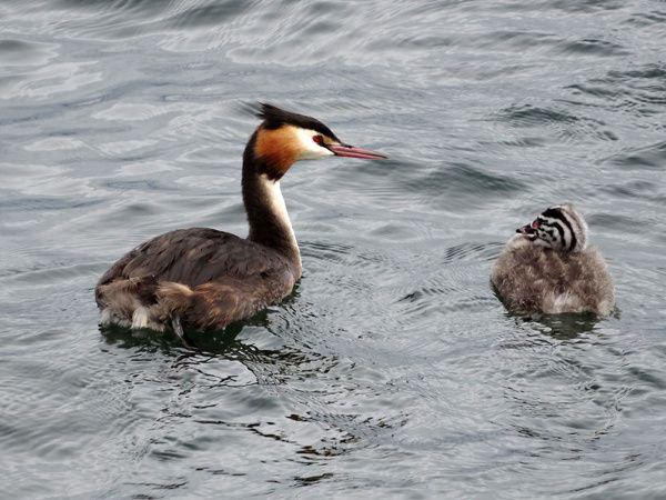 Quelques oiseaux du lac Léman