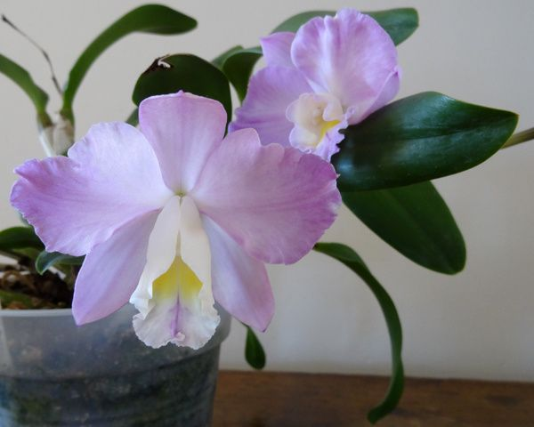 Cattlianthe Dris and Byron Christmas Rose