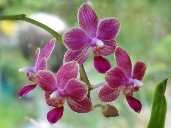 Phalaenopsis Ambotris