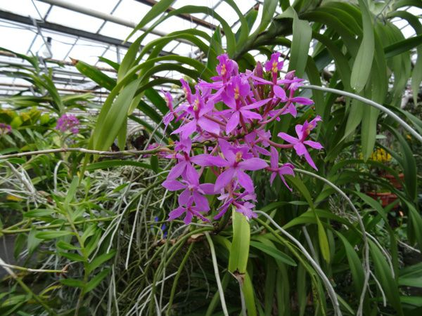 Orchid Jacky