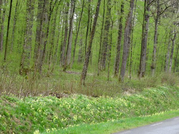 Primula eliator - primevère des bois - coucou des bois
