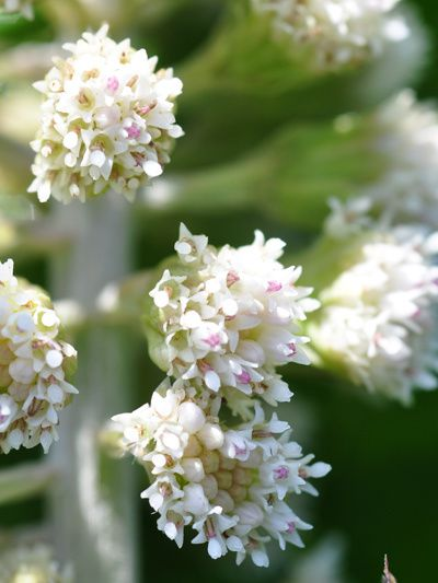 Petasites hybridus - pétasite officinal