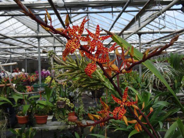 Orchid Jacky (suite)
