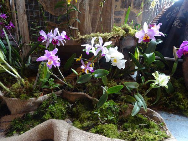 Exposition d'orchidées à Biercée (suite)