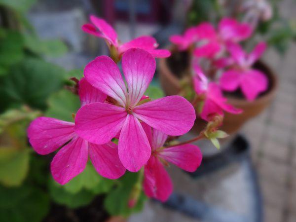 Pelargonium 'Picotee Kleiner Liebling'