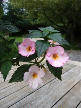 Gesneriaceae (page en cours, mise à jour le 11/11/2015)