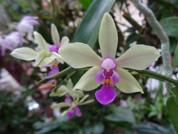 Phalaenopsis Memoria Herman Sweet
