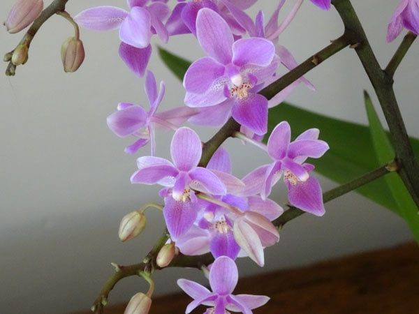 Phalaenopsis hybride d'equestris