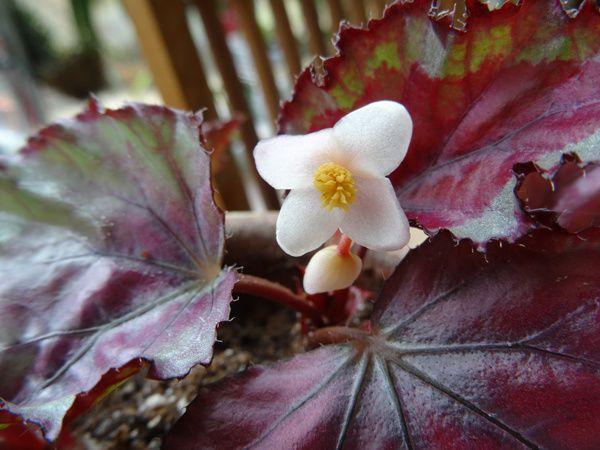 Begonia rex 'Spitfire'