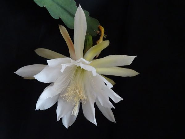 Epiphyllum 'Elfenbein'