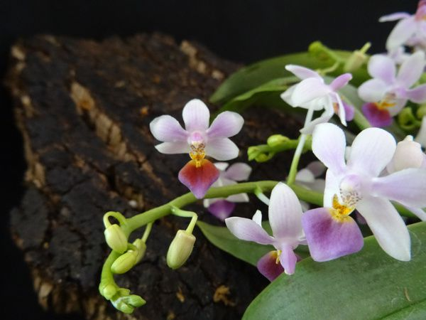 Phalaenopsis Partris