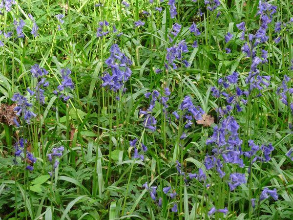 Hyacinthoides non-scripta - jacinthe des bois ou jacinthe sauvage