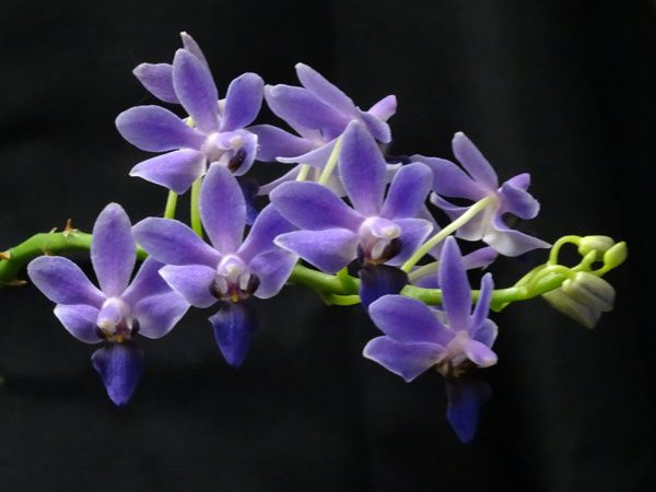 Phalaenopsis Purple Gem