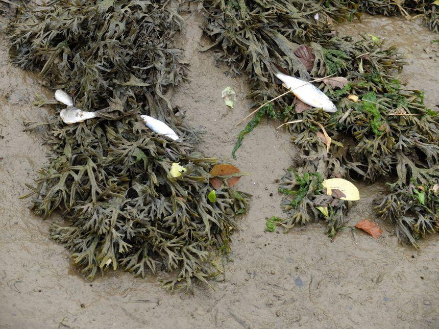 Poissons morts de l'agriculture chimique.