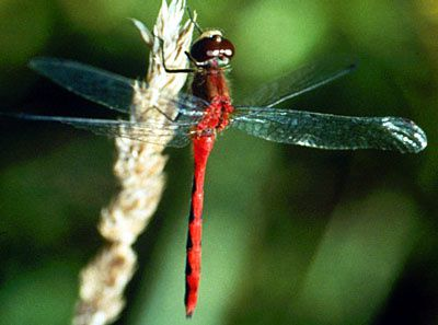 source : http://www.discoverlife.org/20/q?search=Odonata
