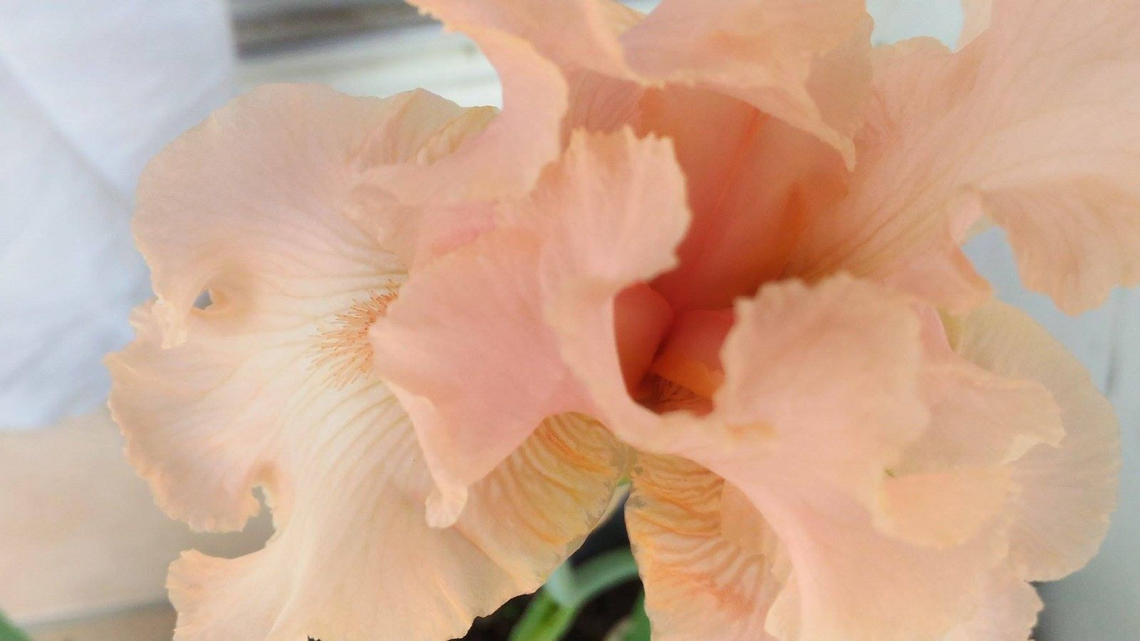 Premier iris en fleur (Beverly Sills) que Simone m'a donné. Beau et délicat !  Isabelle