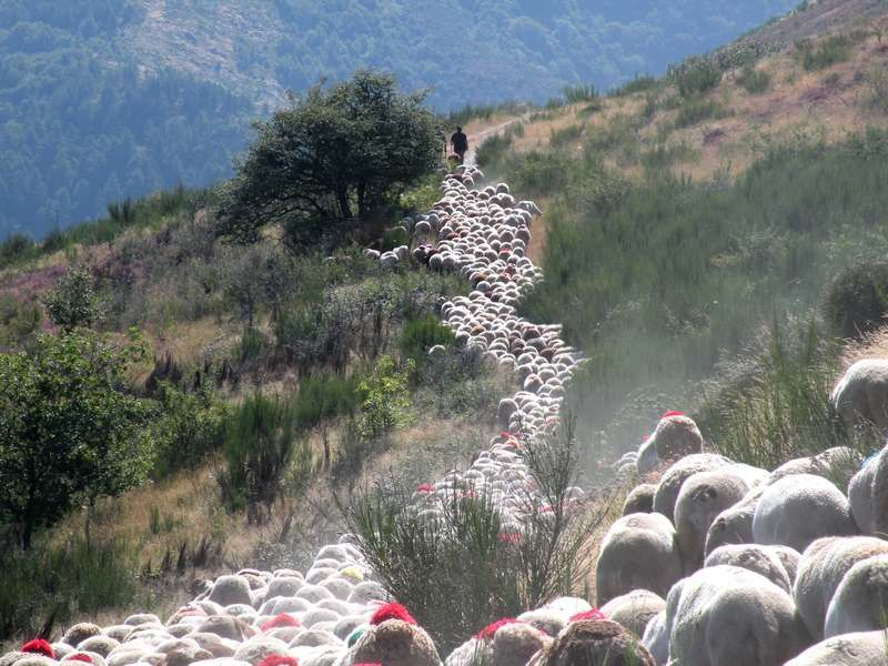 Transhumance des bergers cévenols
