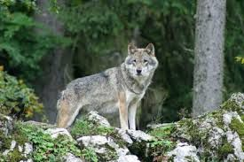 Le loup, la fouace et le cabretaïre