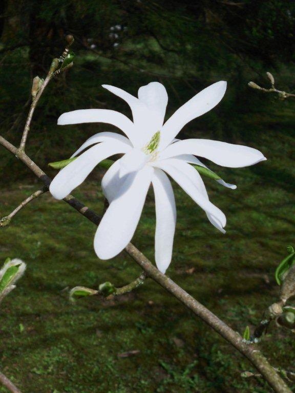 magnolia stellata, soulangea, camélia, mister Smith, myosotis, pommier, sainte-Lucie (ou arbre à muguet), glycine, muguet blanc, rose. (Photos Flora, of course !)