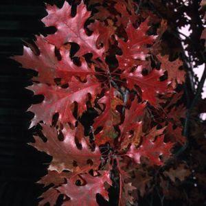 sources : aggie-horticulture.tamu-edu, puckettsnursery.com