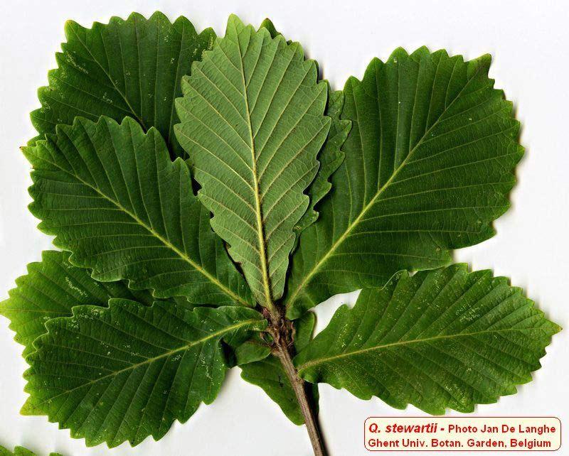 sources : oak-of-the-world.free.fr, pepiniereslaurentaises.fr, terrain.net.nz