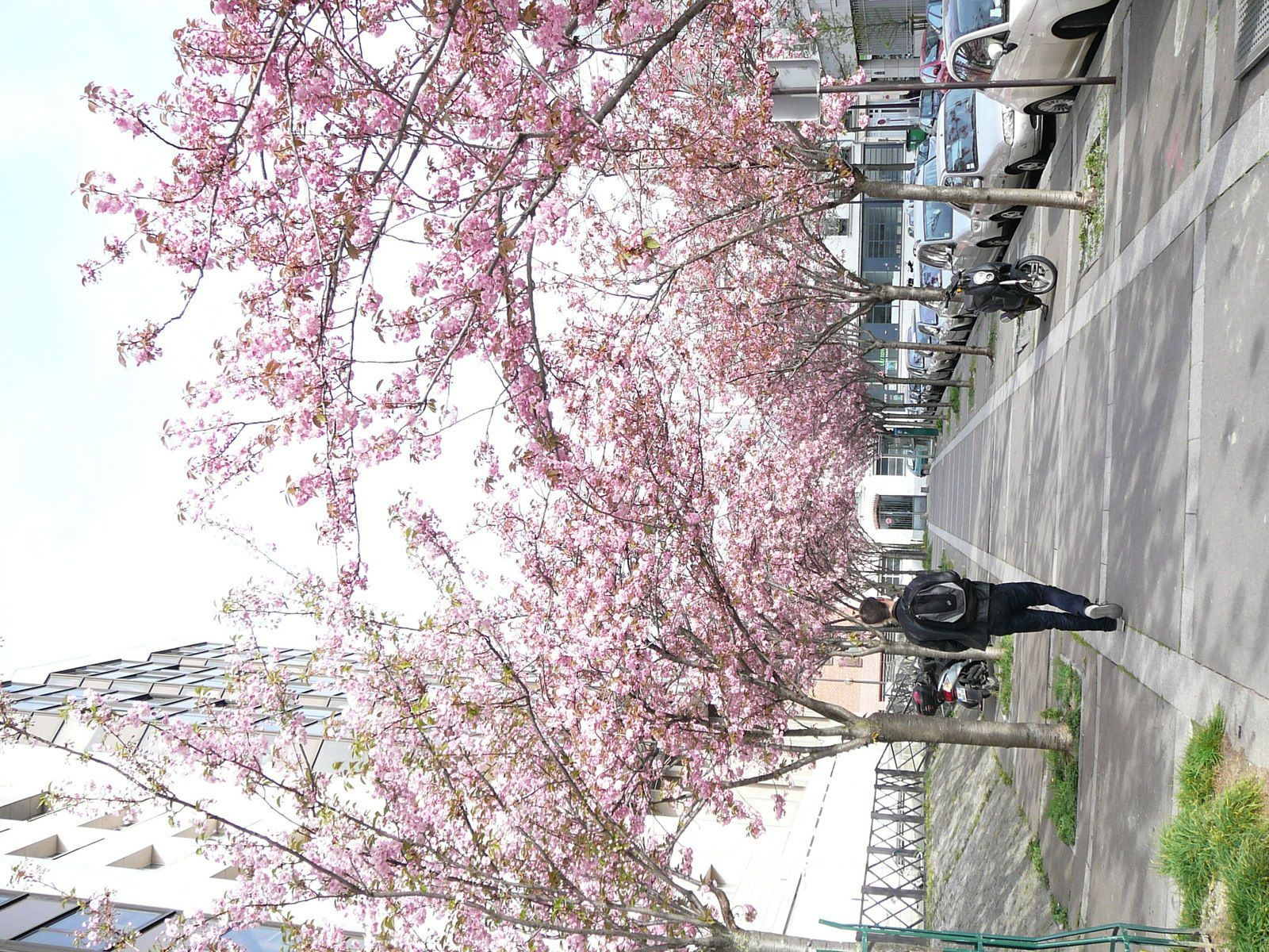 Les cerisiers parisiens