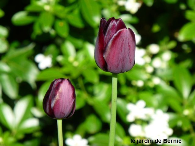 Tulipes surprise
