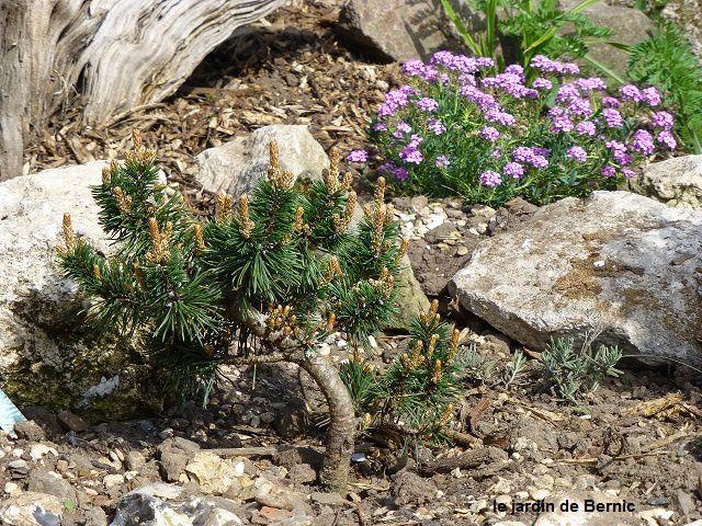 Pinus Mugo Humpy